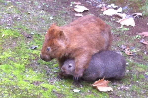 Red-haired wombat Lingy with his smaller wombat friend at Buchan Caves Reserve.