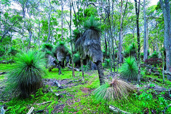 Coolah Tops National Park15 Giant grass trees an easy walk from The Barracks