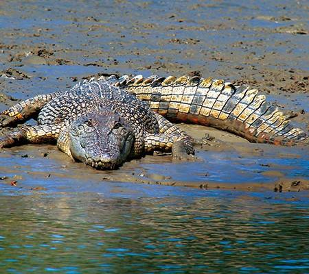 A 3 metre estuarine saltwater crocodile on bank of the Norman River Karumba Qld