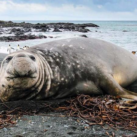 Elephant seal on Sandy Bay, Macquarie Island.