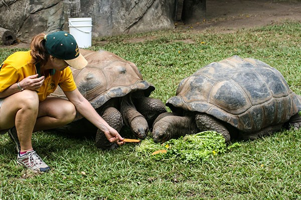 Staff feeds green veggies and sweet potato to tortoises at Australia Zoo.