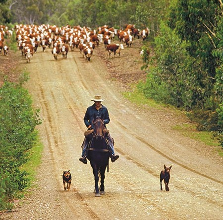 Aussie working dogs help out with the cattle