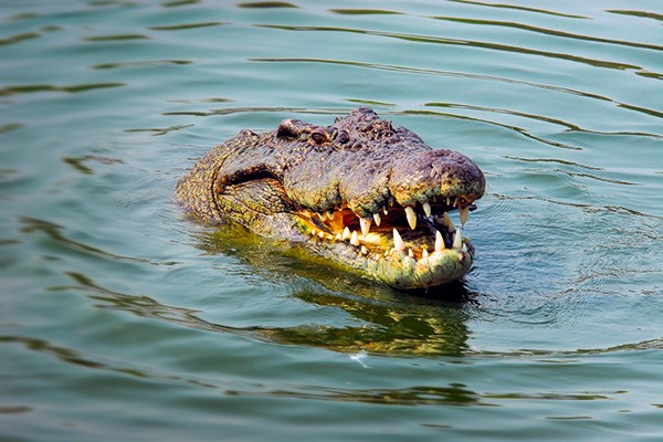 An old retired croc shooter in the NT reckons he tells everyone these days that the only safe place
