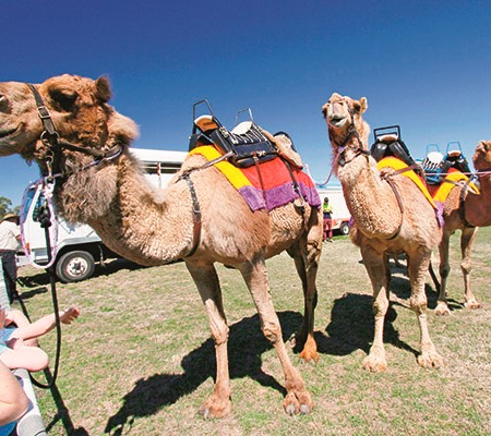 Camels basking in the curious admiration of children and adults alike