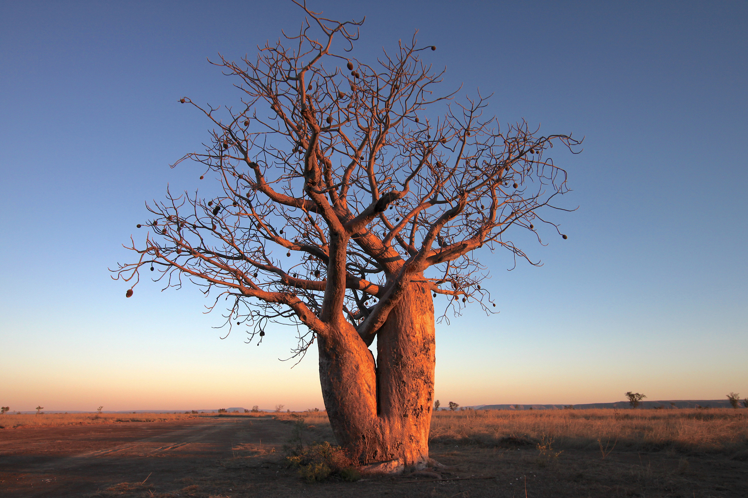 These boab trees are prolific in the region